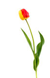 tulip Amarelo-vermelho imagem de stock royalty free