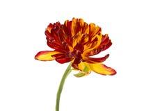 tulip Amarelo-vermelho imagens de stock