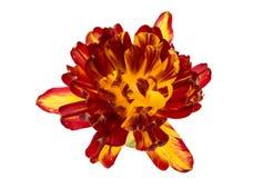 tulip Amarelo-vermelho imagens de stock royalty free