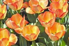 Tulip American Dream Tulipa, Liliaceae Lizenzfreie Stockfotos