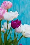 Tulip Angelique De dubbele Tulp van de Pioenvorm Recente bloeiende tulp stock afbeeldingen