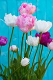 Tulip Angelique Doppelte Pfingstrosenform Tulpe Späte blühende Tulpe stockfotografie
