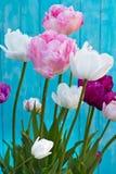 Tulip Angelique Doppelte Pfingstrosenform Tulpe Späte blühende Tulpe lizenzfreies stockfoto