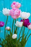 Tulip Angelique. Double Peony shape Tulip. Late flowering tulip stock photography