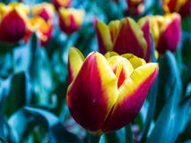 Tulip. Any of several bulbous plants of the genus Tulipa, native chiefly to Asia and widely cultivated for their showy, variously colored flowers Royalty Free Stock Photo
