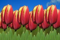 Tulip Apeldoorn Elite Royalty Free Stock Photos