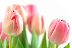 Tulip arrangement. Nice pink tulips on white ground stock images