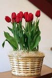 Tulip Arrangement. Red tulipsdisplayed in a wicker basket royalty free stock image