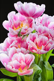 Tulip Arrangement cor-de-rosa BB105878-2 Imagem de Stock