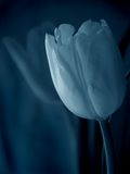 Tulip azul Foto de Stock