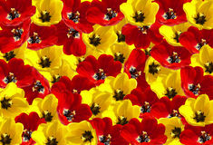 Tulip background. Red and Yellow tulip background Royalty Free Stock Photos