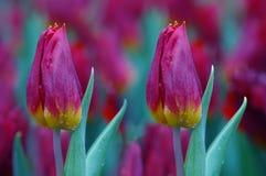 Tulip Background Royalty Free Stock Image