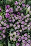 Tulip Background Photographie stock libre de droits
