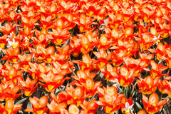 Tulip Background Royalty Free Stock Photography