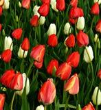 Tulip Background rosada y blanca roja vibrante Fotografía de archivo libre de regalías