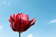 Tulip. On a background of the sky with space for text Stock Photos