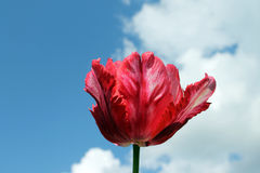 Tulip. On a background of the sky with space for text royalty free stock photos
