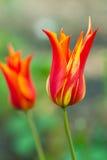 Tulip Ballade Royalty Free Stock Image