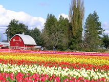 Tulip and Barn Stock Images