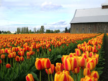 Tulip Barn and Horizon. Tulips at the Skagit Valley Tulip Festival in Washington state, USA stock photography