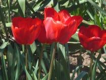 Tulip. Beautiful Tulip, blooming in full force Stock Images