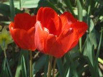 Tulip6. Beautiful Tulip, blooming in full force Royalty Free Stock Photo