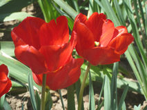 Tulip9. Beautiful Tulip, blooming in full force Royalty Free Stock Photos