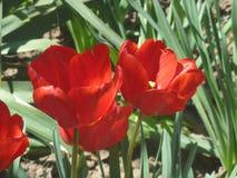Tulip8. Beautiful Tulip, blooming in full force Stock Images