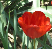Tulip7. Beautiful Tulip, blooming in full force Royalty Free Stock Image