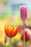 Tulip. Beautiful blossoming red and yellow tulip Royalty Free Stock Images