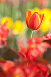 Tulip. Beautiful blossoming red and yellow tulip Royalty Free Stock Image
