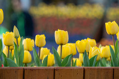 Tulip. Beautiful bouquet of tulips. colorful tulips. tulips in spring,colourful tulip Stock Photography