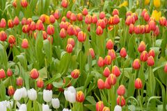 Tulip. Beautiful bouquet of tulips. tulips in spring,colourful tulip Stock Photography