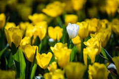 Tulip. Beautiful bouquet of tulips. tulips in spring,colourful tulip royalty free stock image