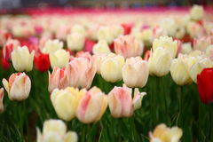 Tulip. A beautiful and colorful tulips in China Royalty Free Stock Images