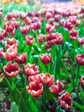 Tulip is beautiful flower Stock Images