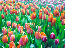 Tulip is beautiful flower Royalty Free Stock Images
