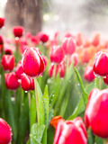Tulip is beautiful flower Stock Photography