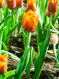 Tulip is beautiful flower Royalty Free Stock Photography