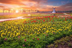 Tulip and beautiful landscape with sunrise. Or sunset in korea royalty free stock images