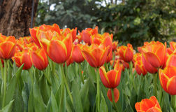 Tulip. Beautiful orange tulips in the garden Royalty Free Stock Photography