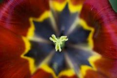 Tulip. Beautiful red tulip. macro photo Royalty Free Stock Photos
