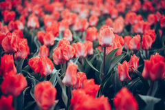 Tulip. Beautiful red tulips flowers in spring garden, floral background Stock Photography