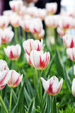 Tulip. The beautiful summer fresh flower the tulip,Tropical flower park beautiful beautiful Stock Photos