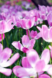 Tulip. The beautiful summer fresh flower the tulip,Tropical flower park beautiful beautiful Royalty Free Stock Photography