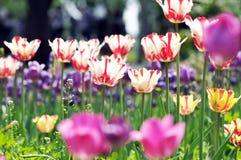 Tulip. The beautiful summer fresh flower the tulip,Tropical flower park beautiful beautiful Royalty Free Stock Photos