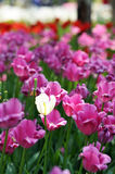Tulip. The beautiful summer fresh flower the tulip,Tropical flower park beautiful beautiful Stock Images