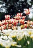Tulip. The beautiful summer fresh flower the tulip,Tropical flower park beautiful beautiful Royalty Free Stock Image