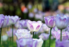 Tulip. The beautiful summer fresh flower the tulip,Tropical flower park beautiful beautiful Royalty Free Stock Images