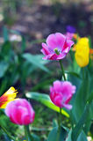 Tulip. The beautiful summer fresh flower the tulip,Tropical flower park beautiful beautiful Stock Photo